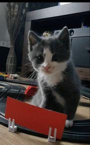 BKH Perser-Mix Katzen blau und