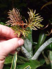 1 Steckling Ableger von Begonia