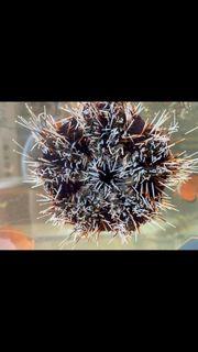 Meerwasser Pfaffenhut Seeigel Tripneustes Gratilla