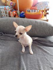 Welpe Rude 6 Monate alt