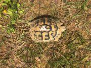 Griechische Landschildkröte NZ 2015