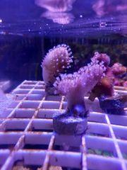 Korallenableger Pilzlederkorallen Keniabäumchen Meerwasser Korallen