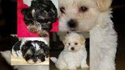 Wunderschöne TraumWelpen--Familienhund--Allergiker geeignet