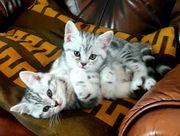 BKH reinrassige Kitten