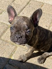 Französische Bulldogge Blue brindle pied