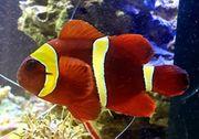 samt anemonen fisch W