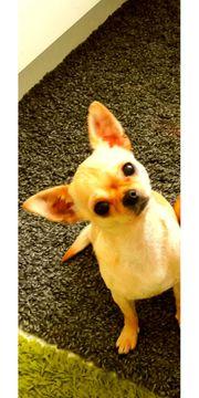 Chihuahua Weibchen mit Ahnentafel