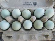 Araucana Weizenfarbig Bruteier Eier blauleger