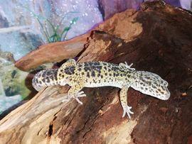 Reptilien, Terraristik - Leopardgecko lat Eublepharis macularius 69EUR