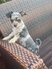 Chihuahua Rüde sucht ein schönes