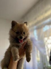 Pomeranian madchen