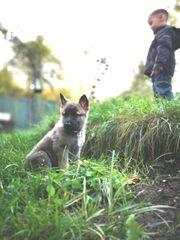 Malinois-Schäferhund-Mix-Welpen