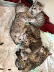 Katzen Babys bkh