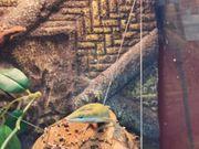 Rotkehl Geckos