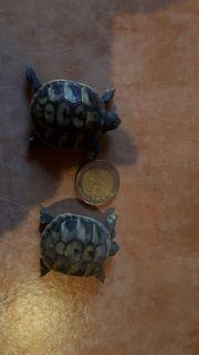 griechische landschildkrötenbabies