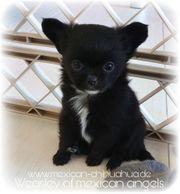 Typvolle Chihuahua Welpen - Rüden - mit