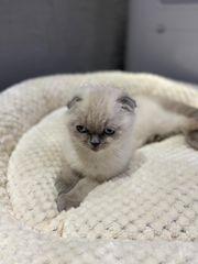 Scottish Fold Kitten 14 Wochen