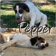 Pepper (Hündin aus