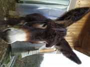 Groß Esel Stute