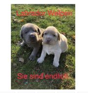 Wunderschöne Labradorwelpen mit Papieren
