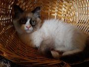 Ragdoll Katzen mit Stammbaum