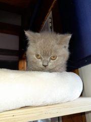 bkh kitten Weibchen