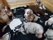 Wurfankündigung Australian Shepherd Welpen
