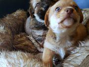 bezaubernde Hundebabys jetzt reservieren