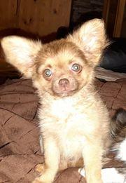 LH-Chihuahua