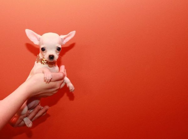 mini mini chihuahua welpen kaufen