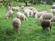Lammfleisch von Weidelämmern