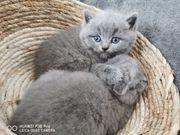 BKH Kitten britisch Kurzhaar Katze
