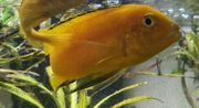 9 Malawi Barsche gelb