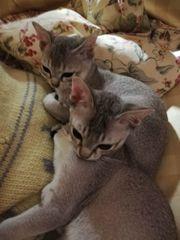 Singapura Katzen - Süße Mini Löwen