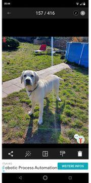 Labrador Deckrüde super lieb und