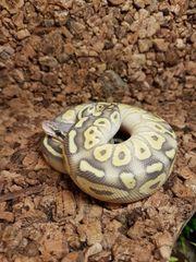 königspython pastell butter ghost