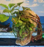 Aus Aquarium Auflösung Totenkopf Bepflanzt