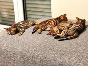 Bengal Bengalkitten Kitten Katzen
