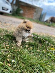 Pomeranian-Zwergspitz