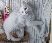 Maine Coon-Sibirisch Kitten suchen liebevolles
