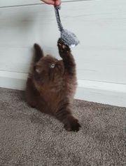 BLH Kitten Chocolate