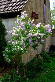 Flieder-Strauch hellliela - Syringa-vulgaris