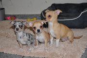 Zierliche Chihuahua Welpen in mit