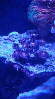 Zoanthus Alien Explosion