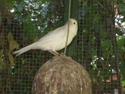 5 weiße Kanarien Kanarienvögel Harzer