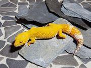 Leopardgecko Mandarin Tangerine Tremper 0