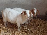 2 junge Ziegenböcklein suchen ein