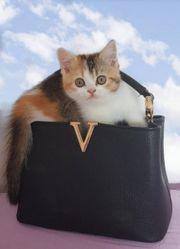 Scottish Fold Scottish Straight Kitten
