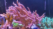 Top Koralle Meerwasser Seriatopora Hystrix