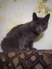 Katze Russisch Blau Mix